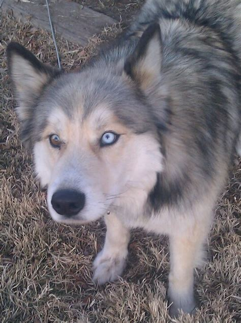 wolf husky mix puppies wolf husky husky mix and husky on