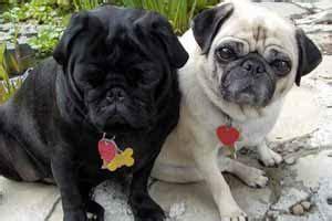 pug carlino caracteristicas raza de perro pug o carlino caracter 237 sticas cuidados adiestrar vida