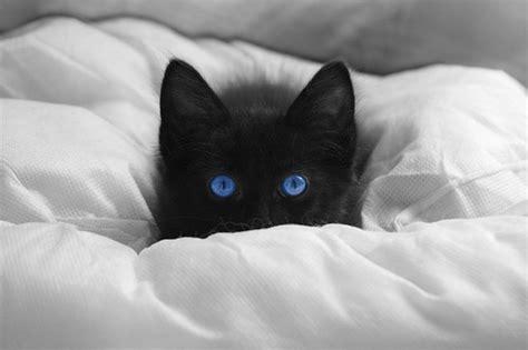 gibt es nun eigentlich schwarze katzen mit blauen augen