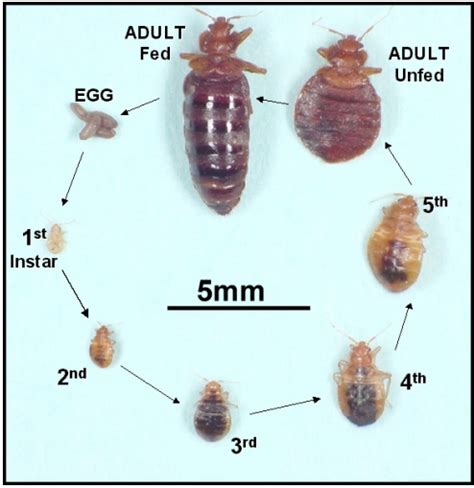 bed bugs lifespan picture of adult bedbug