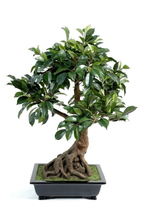 bonsai interieur jardiland bonsai plante