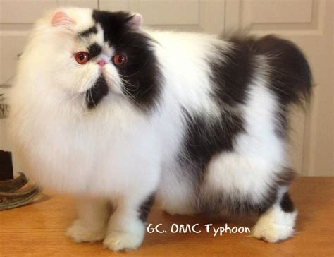 cat breeders cat breeders in the united states available