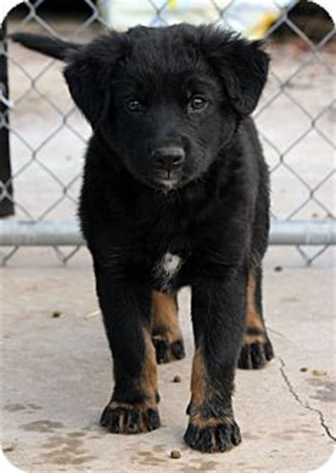 rottweiler labrador retriever mix camaro adopted puppy pennigton nj rottweiler labrador retriever mix