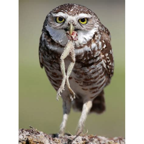 eating habits michael s amazing owls
