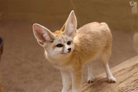 Fennec Fox Facts, History, Useful Information and Amazing