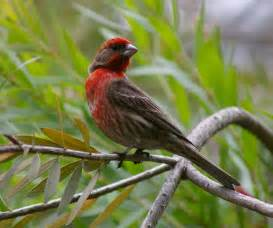 birds of westwood house finch