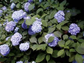 sunless success 15 great easy to grow shrubs for shade virginia gardener web articles