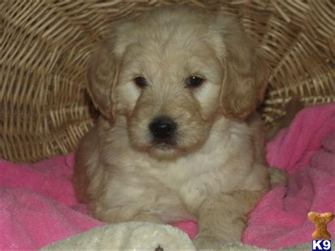 goldendoodle puppy for sale uk goldendoodle puppies for sale uk 2013 www