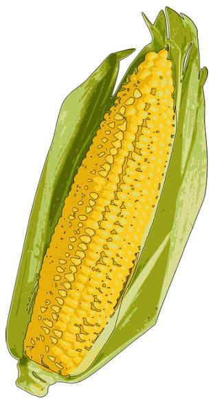 corn calories corn on the cob calories will it help you lose weight