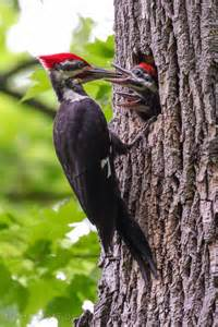 red mohawk at home with michigan s pileated woodpecker