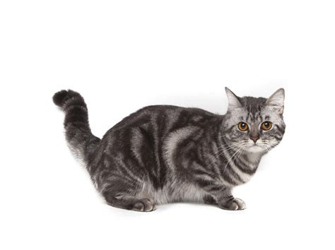 shorthair cat american shorthair cats breed information omlet