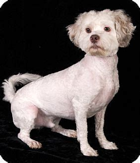 shih tzu poodle mix chicago 29299 best images about rescue dogs on