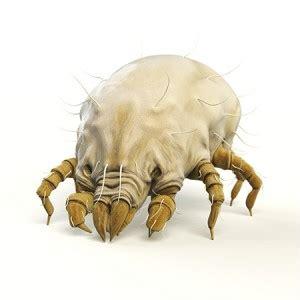 what eats bed bugs j ai des insectes dans ma chambre qu est ce que c est
