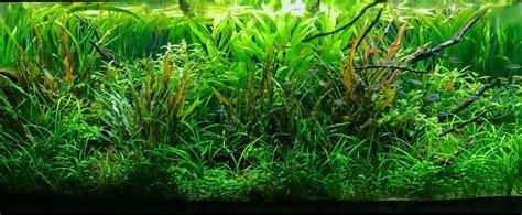cryptocoryne aquascape tamed jungle 120p takashi amano inspired tribute uk