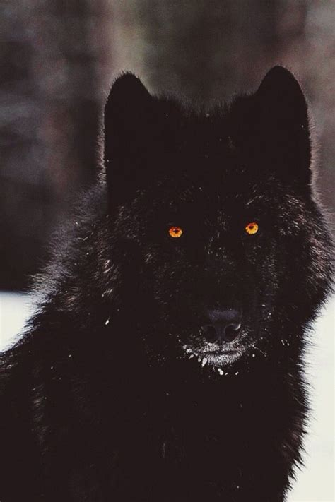 5 11 Black Wolf Black rank alpha loup garou