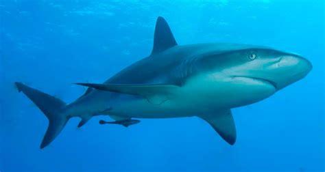 imagenes impresionantes de tiburones fotos de tiburones