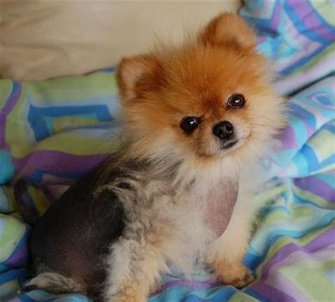 alopecia x treatment pomeranians alopecia x veterinary clinic sofia