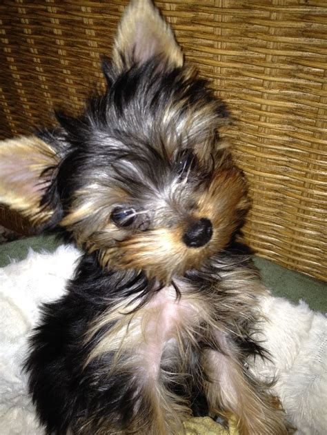 baby yorkie dogs pictures of baby yorkies www imgkid the image kid has it