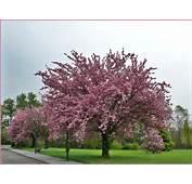 Ces Arbres Sont Des &171 Cerisiers Du Japon &187 Ou Prunus