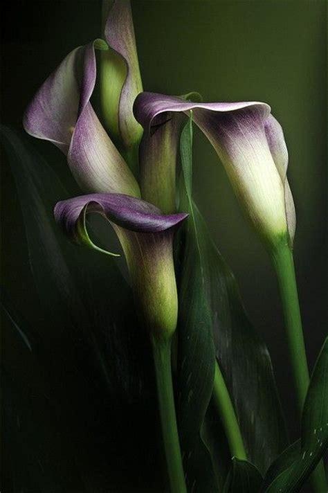 220 ber 1 000 ideen zu lila calla lilien auf pinterest