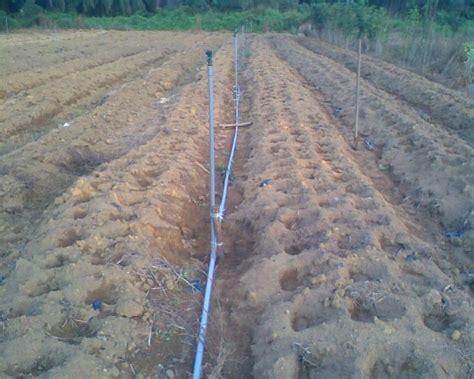 Benih Jagung Manis Asian Honey pertanian 187 archive 187 projek tanaman jagung manis
