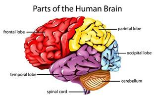 four sections of the brain the frontal lobes are the parts of the brain that control