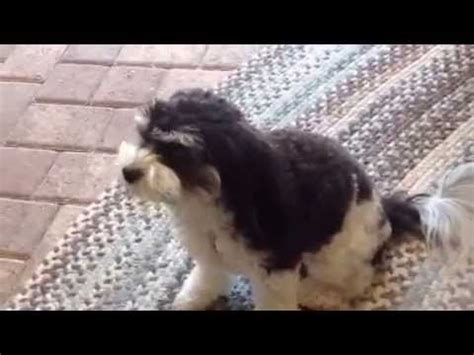 golden retriever farm harrisonburg bichon frise smart funnydog tv