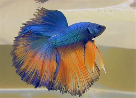 betta fish colors bettafishmania
