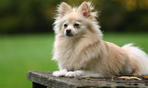 how much to feed a pomeranian puppy pomeranian breed information pets world
