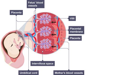 placenta diagram the ovaries and the placenta
