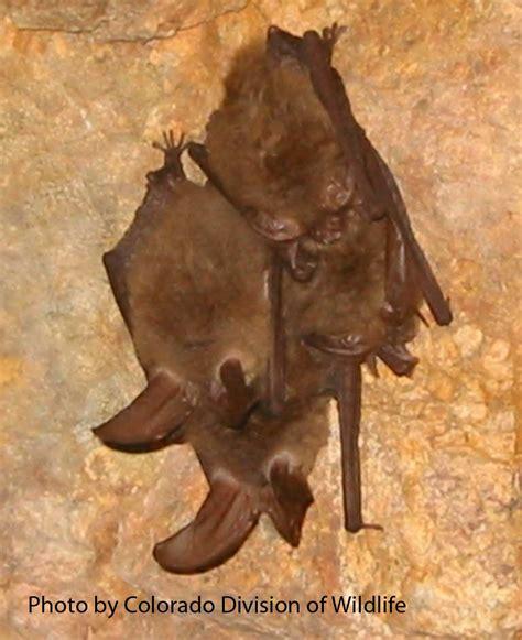cnhp co bat species list