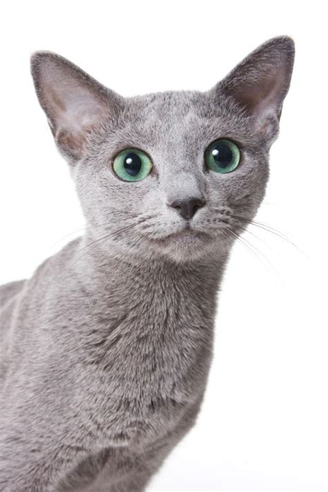 Blee Cat 2 8 facts about russian blue cats mental floss