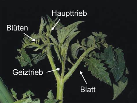 Tomaten Ausgeizen Anleitung 5184 by Woran Erkenne Ich Die Geiztriebe Hausgarten Net