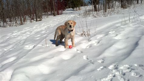 golden retriever puppies for sale in rochester mn golden retriever rescue duluth mn