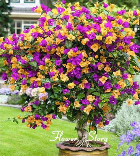 Showy Garden Flower Free Shipping 100 Mix Color Bougainvillea Balcony Pot Yard Bonsai Flower Plant Immensely Showy