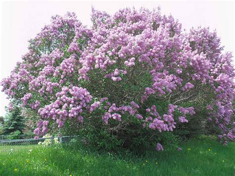 lilacs bush purple lilac bush minneapolis minnesota purple lilac
