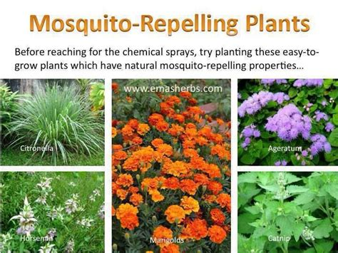 17 best ideas about mosquito repelling plants on pinterest