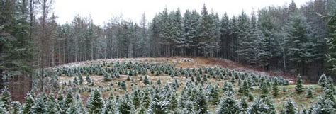 wholesale christmas trees nh vt christmas tree association