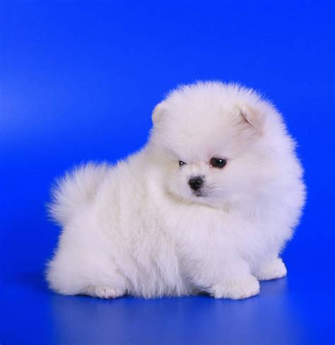 free pomeranian puppies wonderful teacup pomeranian puppies for free adoption for mor information contact me