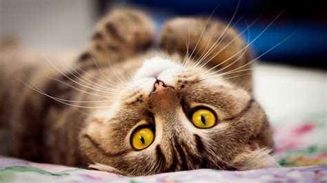 wallpaper yellow cat yellow eyes cat lying on bed high definition wallpapers