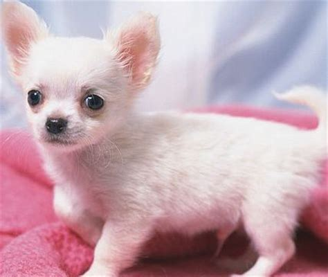chihuahua puppies for sale in ohio teacup chihuahua puppies for sale in ohio dogs for sale auto design tech