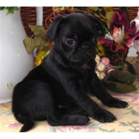 pugs for sale in ky tsuru kennel pug breeder in hopkinsville kentucky listing id 15465