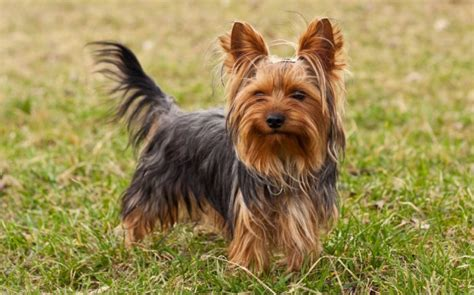 world s largest yorkie top 10 smallest breeds in the world pei magazine