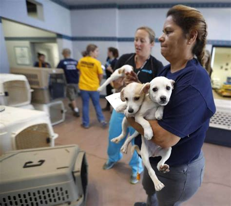 houston spca dogs how to help the pet victims of hurricane harvey san antonio express news