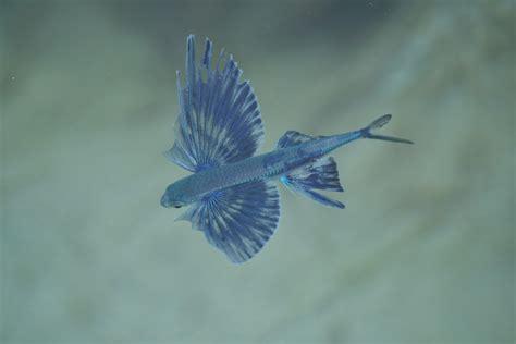 il pesce volante dalla croazia pesce volante forum natura mediterraneo