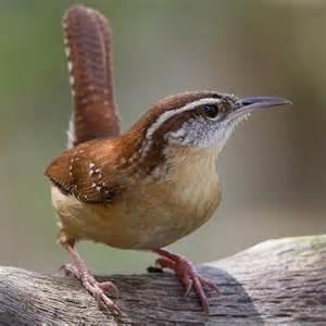 1000 ideas about wren on pinterest birds flycatchers