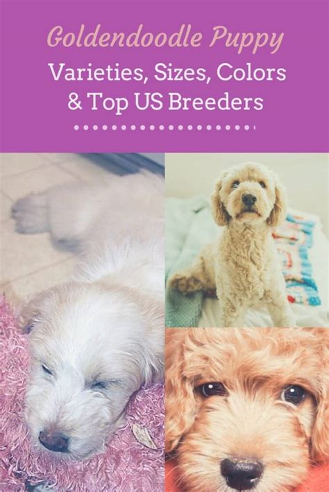 goldendoodle puppy colors bringing home the goldendoodle puppy varieties