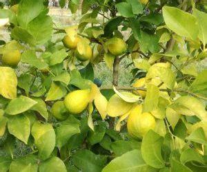 foglie gialle limone vaso come coltivare una pianta di limone coltivazione biologica