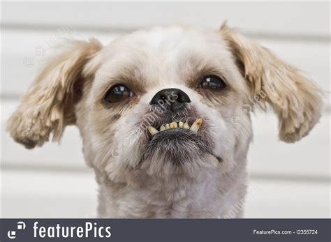 shih tzu number of teeth maltese shih tzu image