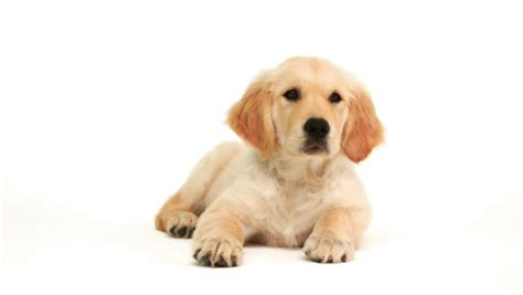 golden retriever pregnancy length beautiful golden labrador retriever with stick out pink tongue sitting and